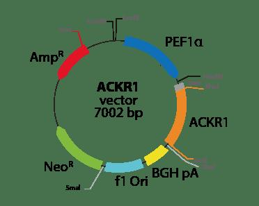 Atypical Chemokine Receptor 1