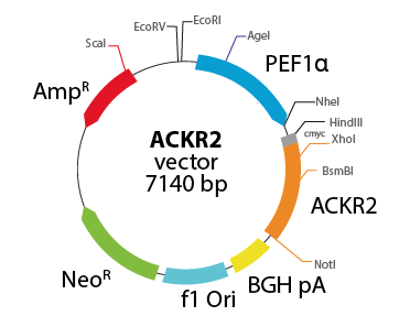 Atypical Chemokine Receptor 2