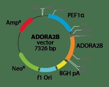 Adenosine A2b Receptor