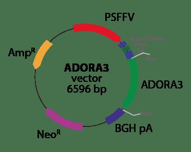 Adenosine A3 Receptor