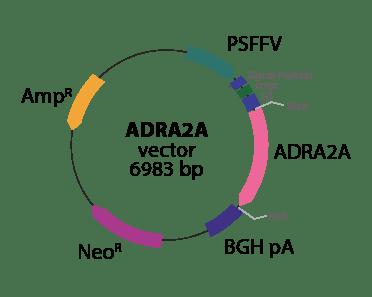 Adrenergic ADRA2A Receptor