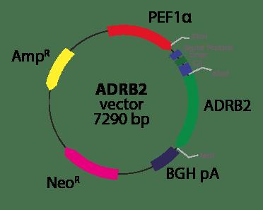 Adrenergic ADRB2