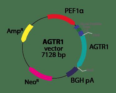 Angiotensin AGTR1