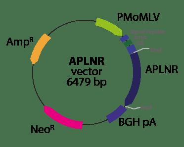 Apelin Receptor