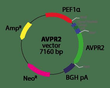 Arginine Vasopressin Receptor 2