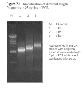 Amplification Taq DNA Polymerase