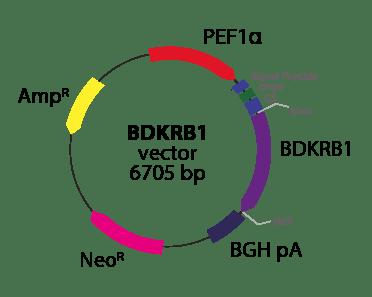 Bradykinin B1 Receptor