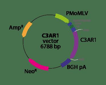 Anaphylatoxin C3AR1