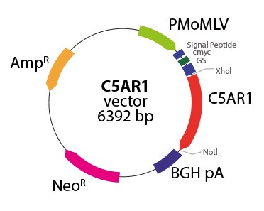 Anaphylatoxin C5AR1