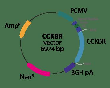 Cholecystokinin B Receptor