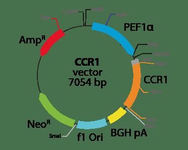 Chemokine (C-C motif) Receptor 1