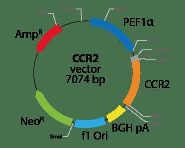 Chemokine (C-C motif) Receptor 2