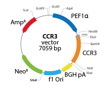 Chemokine (C-C motif) Receptor 3