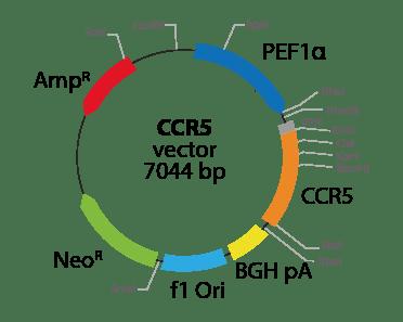 Chemokine (C-C motif) Receptor 5