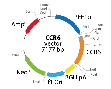 Chemokine (C-C motif) Receptor 6