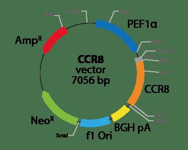 Chemokine (C-C motif) Receptor 8