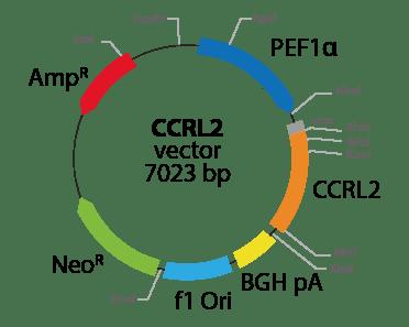 Chemokine (C-C motif) Receptor-like 2
