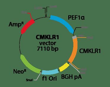 Chemerin Chemokine-like Receptor 1