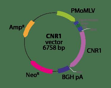 Cannabinoid 1 Receptor