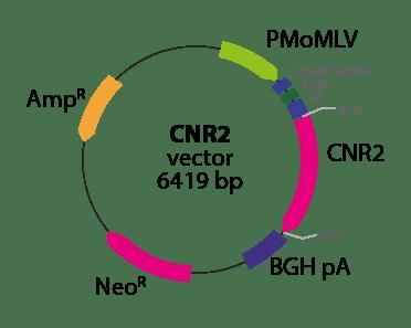 Cannabinoid 2 Receptor