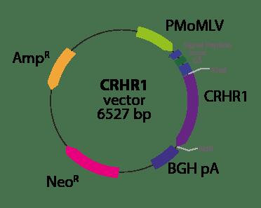 Corticotropin Releasing Hormone Receptor 1