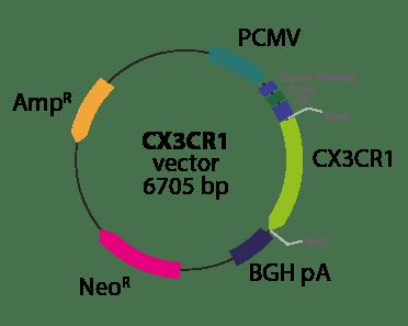 Chemokine CX3CR1