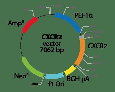 Chemokine (C-X-C motif) Receptor 2