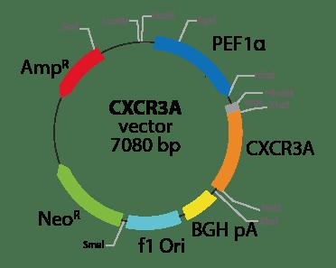 Chemokine (C-X-C motif) Receptor 3 (isoform 1)