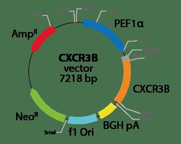 Chemokine (C-X-C motif) Receptor 3 (isoform 2)