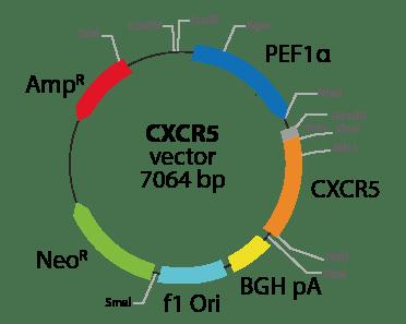 Chemokine (C-X-C motif) Receptor 5