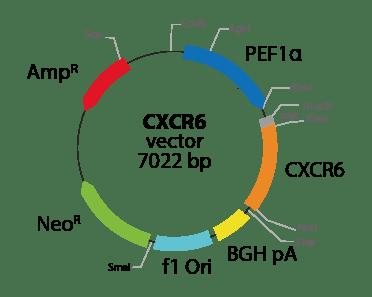 Chemokine (C-X-C motif) Receptor 6