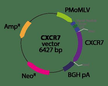 Chemokine (C-X-C motif) Receptor 7