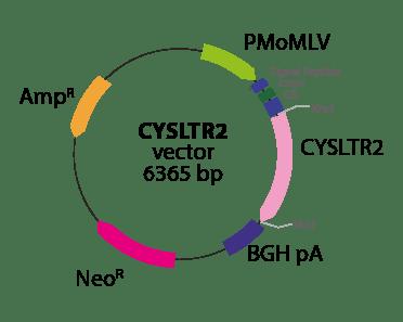 Cysteinyl Leukotriene Receptor 2