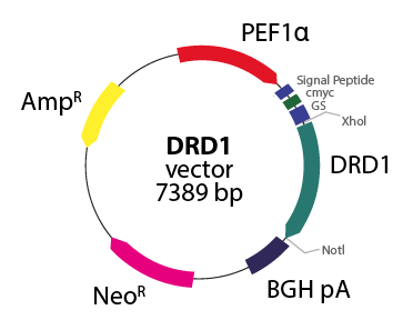 Dopamine Receptor D1