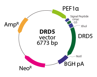 Dopamine Receptor D5