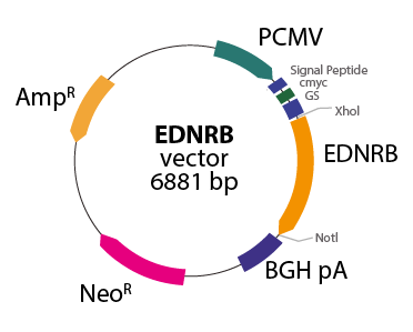 Endothelin Receptor type B