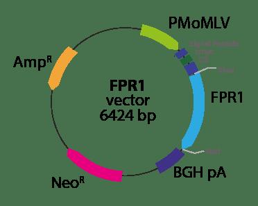 Formyl Peptide Receptor 1