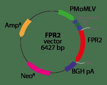 Lipoxin Receptor (FPR2)