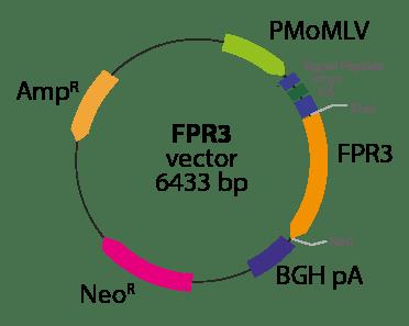 Formyl Peptide Receptor 3