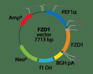 Frizzled Class Receptor 1