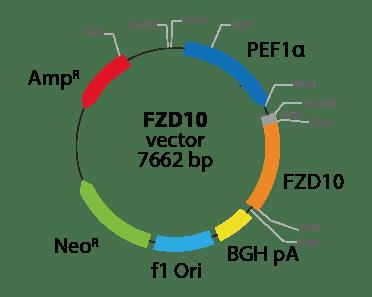 Frizzled Class Receptor 10