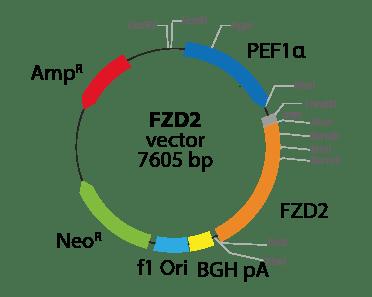 Frizzled Class Receptor 2