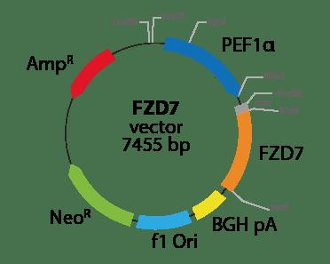 Frizzled Class Receptor 7