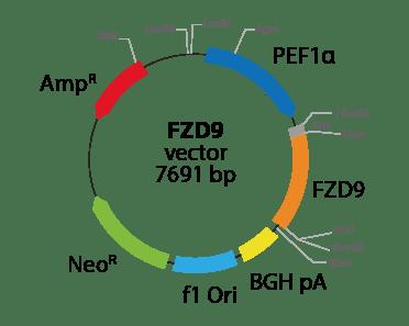 Frizzled Class Receptor 9