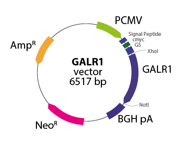 Galanin Receptor 1