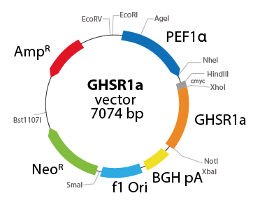 Growth Hormone Secretagogue Receptor
