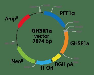 Growth Hormone Secretagogue Receptor