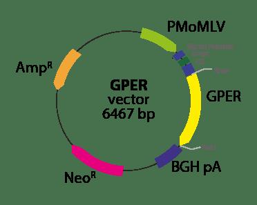 G protein-coupled Estrogen Receptor 1