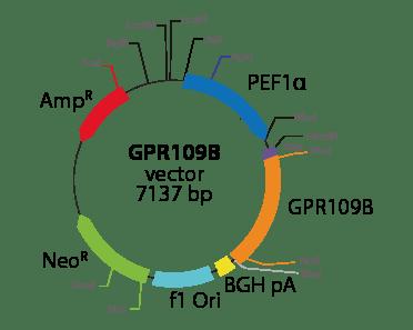 Hydroxycarboxylic Acid Receptor 3