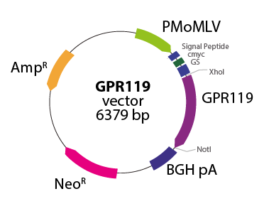 G protein-coupled Receptor 119